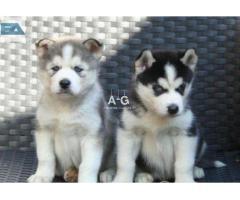 03 magnifiques chiots de race husky